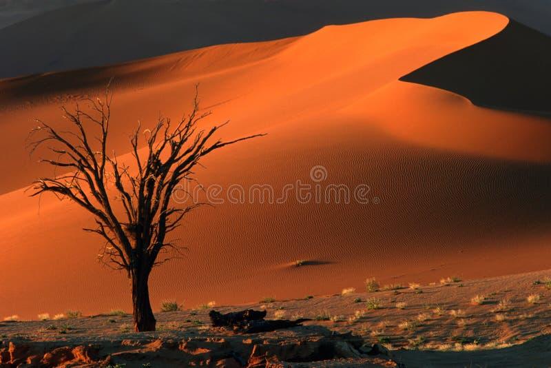 Albero e duna fotografia stock