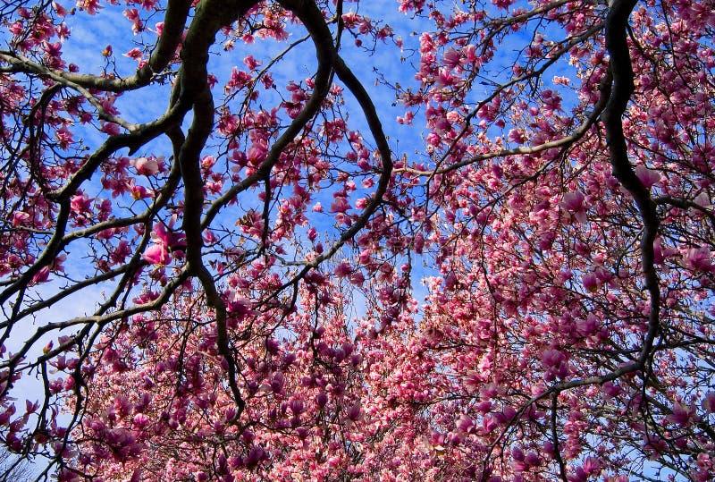 Albero e fiori della magnolia immagini stock libere da diritti