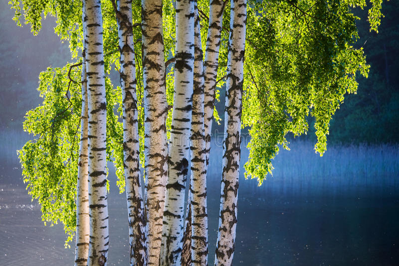 Albero e fogli di betulla in i colori di primavera fotografia stock