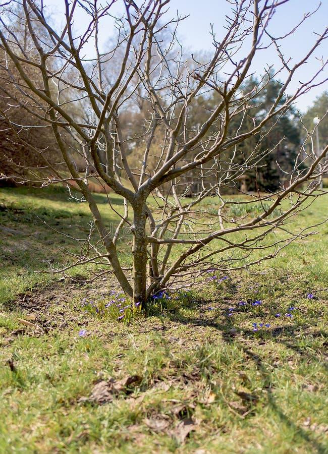 albero e germogli in primavera contro il cielo fotografie stock