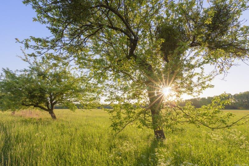 Albero e prato al tramonto fotografia stock libera da diritti