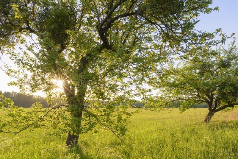Albero e prato al tramonto immagine stock