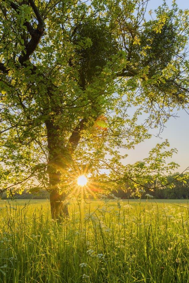 Albero e prato al tramonto immagini stock