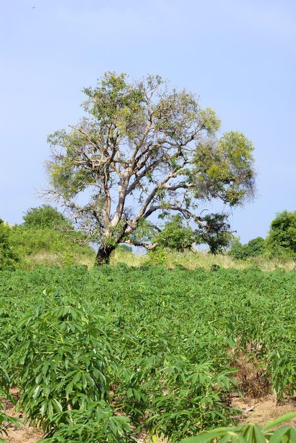 Albero ed albero della manioca immagine stock libera da diritti