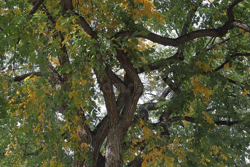 Albero enorme del pioppo con il fogliame di caduta a Denver fotografia stock