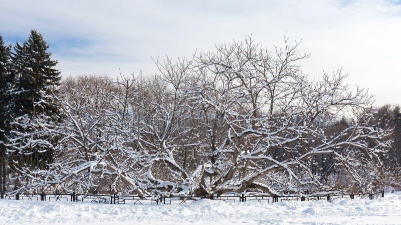 Albero esotico, dado mancese tutti coperti di neve nel giardino botanico di Mosca Inverno pieno di sole fotografie stock libere da diritti