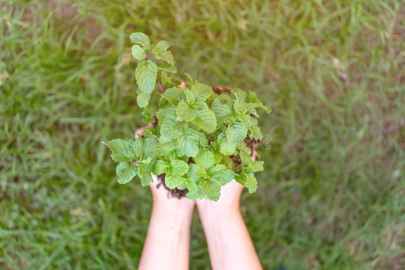 Albero femminile della menta piperita del germoglio della tenuta della mano nel giardino di verde della natura Concetto dell'ambi immagini stock libere da diritti