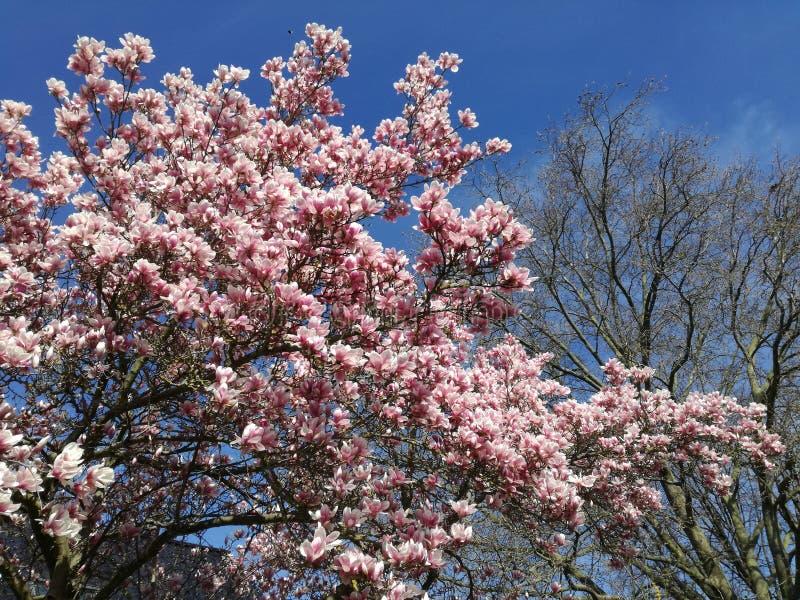 Albero in fiori immagine stock libera da diritti