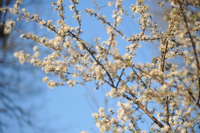 Albero fiorito fotografia stock