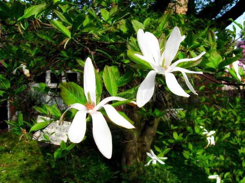Albero fiorito della magnolia con i grandi whiteflowers fotografia stock