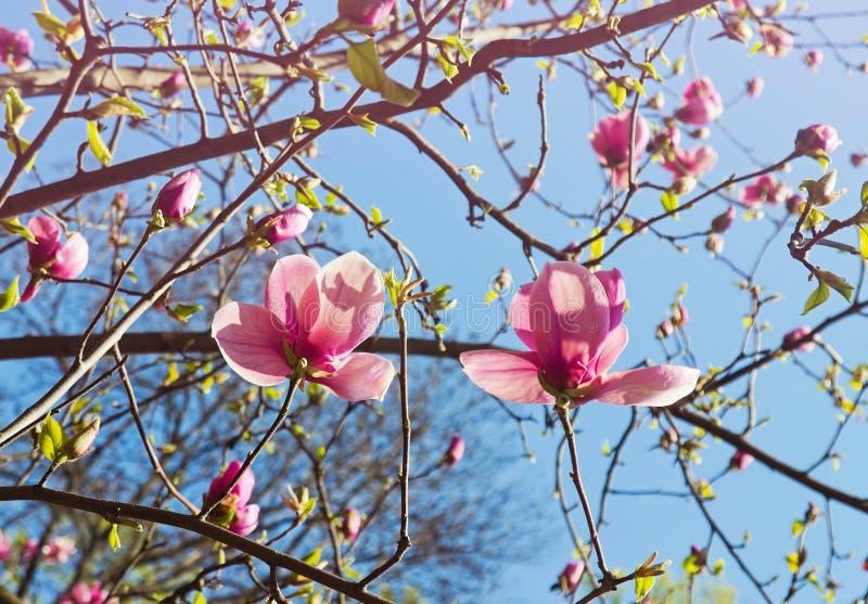 Albero fiorito della magnolia nella primavera fotografie stock