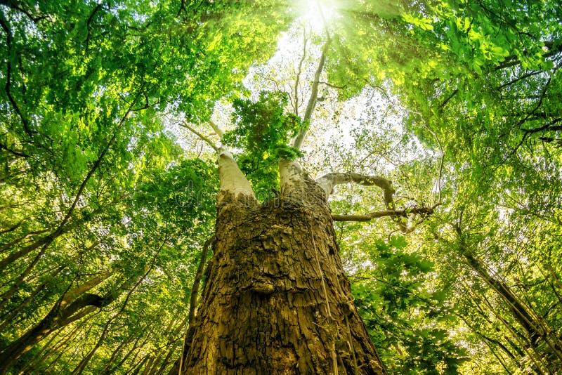 Albero forestale verde grandangolare con le foglie verdi e la luce del sole fotografia stock