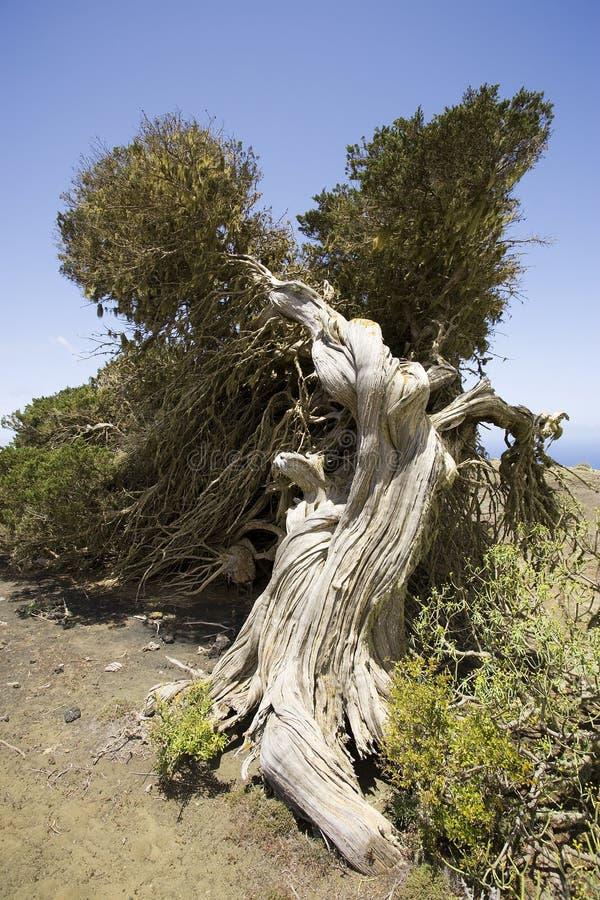 Albero a forma di del ginepro del vecchio vento fotografie stock libere da diritti