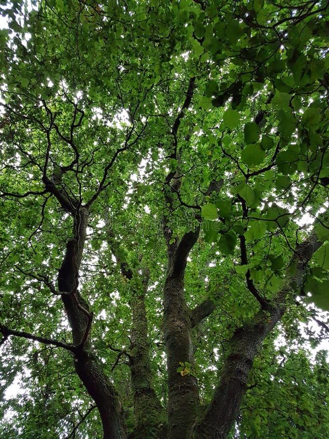 Albero frondoso verde immagini stock