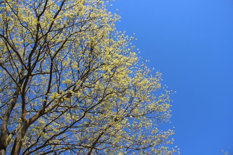 Albero germogliante in primavera Giovani foglie fotografia stock libera da diritti