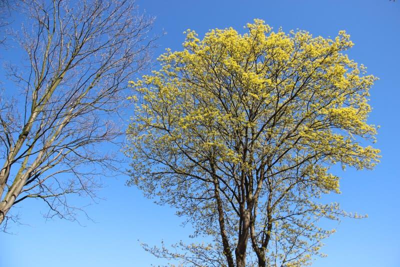 Albero germogliante in primavera Naturale puro fotografia stock