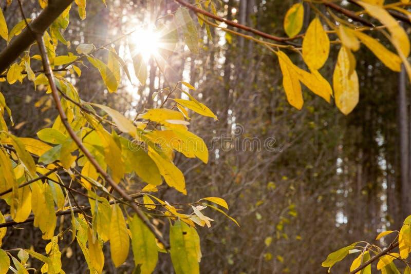 Albero giallo con il Sun fotografia stock libera da diritti