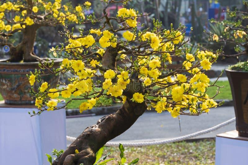 Albero giallo dei bonsai dell'albicocca fotografie stock libere da diritti