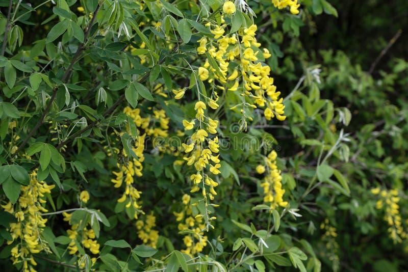 Albero giallo dell'acacia della bella molla fotografia stock libera da diritti