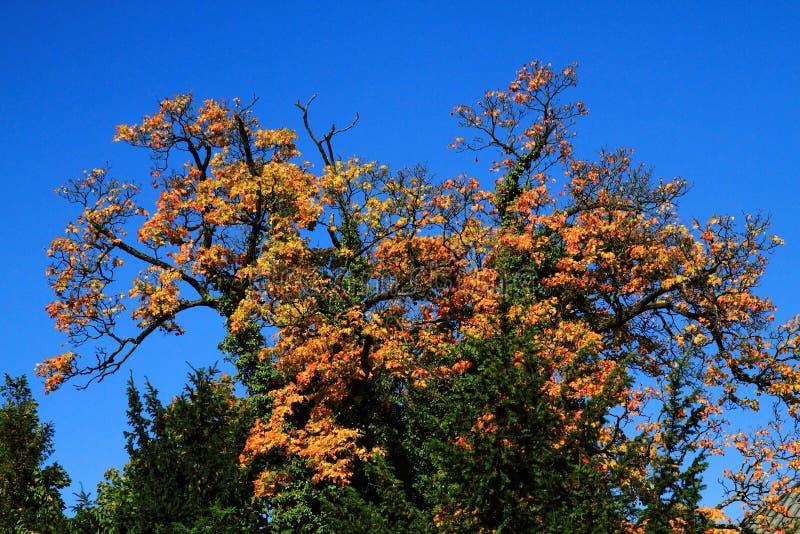 albero giallo di autunno con cielo blu fotografia stock libera da diritti