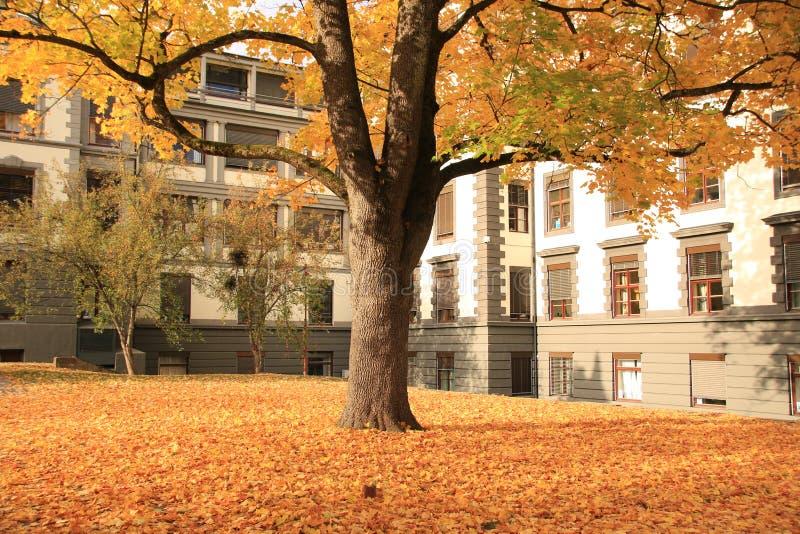 Albero giallo di autunno nel mio giardino 2 immagine stock libera da diritti