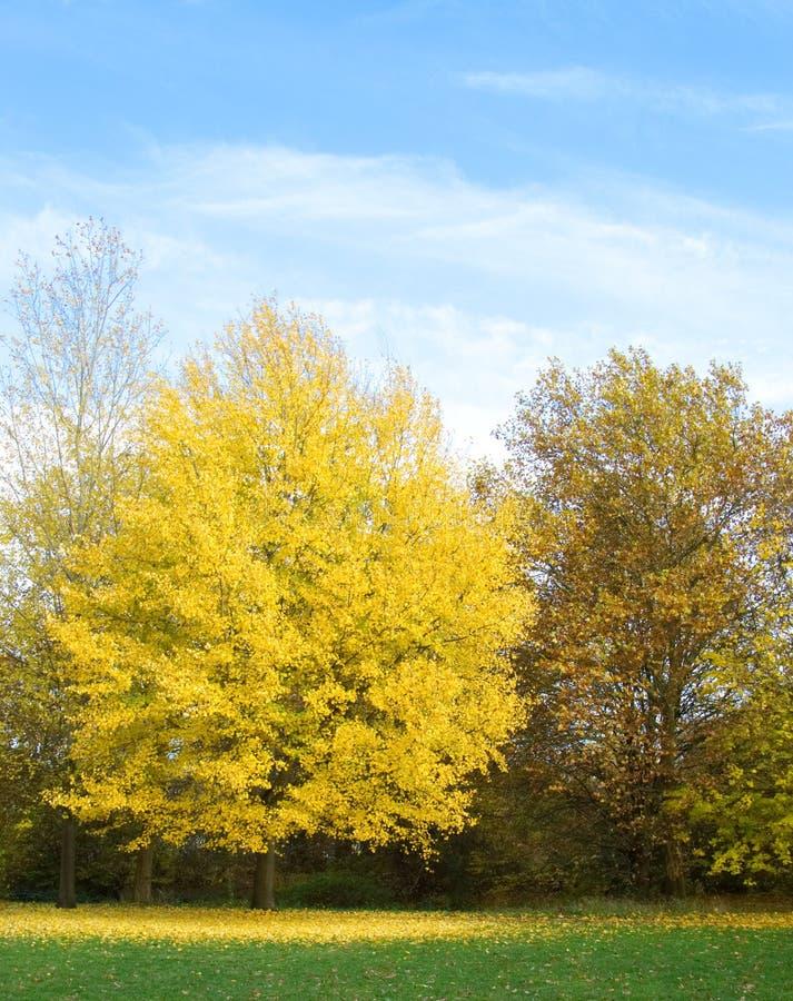 Albero giallo di autunno in parco fotografia stock libera da diritti