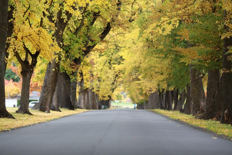 Albero giallo nella stagione di autunno immagini stock