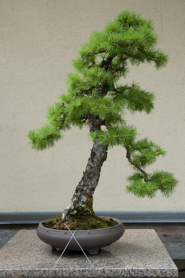 Albero giapponese dei bonsai del larice immagine stock libera da diritti