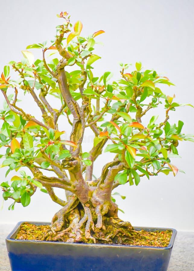 Albero giapponese dei bonsai in POT immagine stock