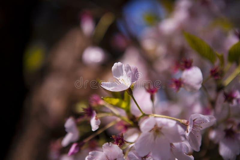 Albero giapponese del fiore di ciliegia in giardino fotografia stock libera da diritti