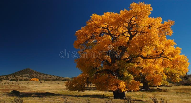 Albero gigante del Cottonwood fotografie stock libere da diritti