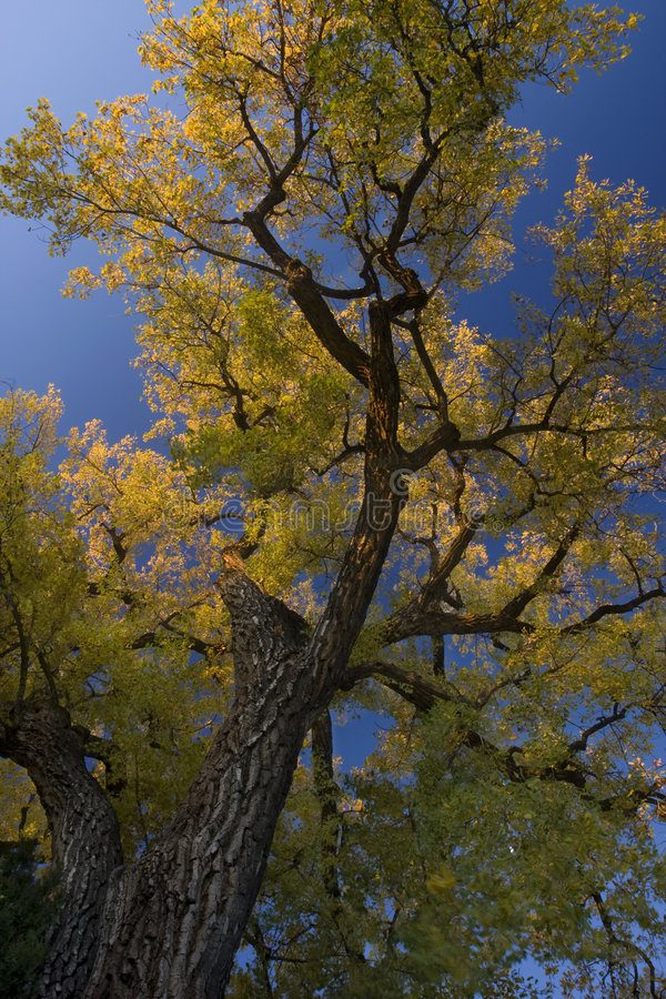 Albero gigante del cottonwood con i fogli dorati fotografia stock libera da diritti