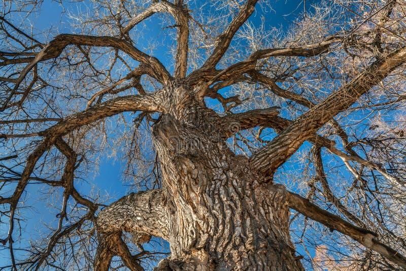 Albero gigante del pioppo nell'inverno immagine stock