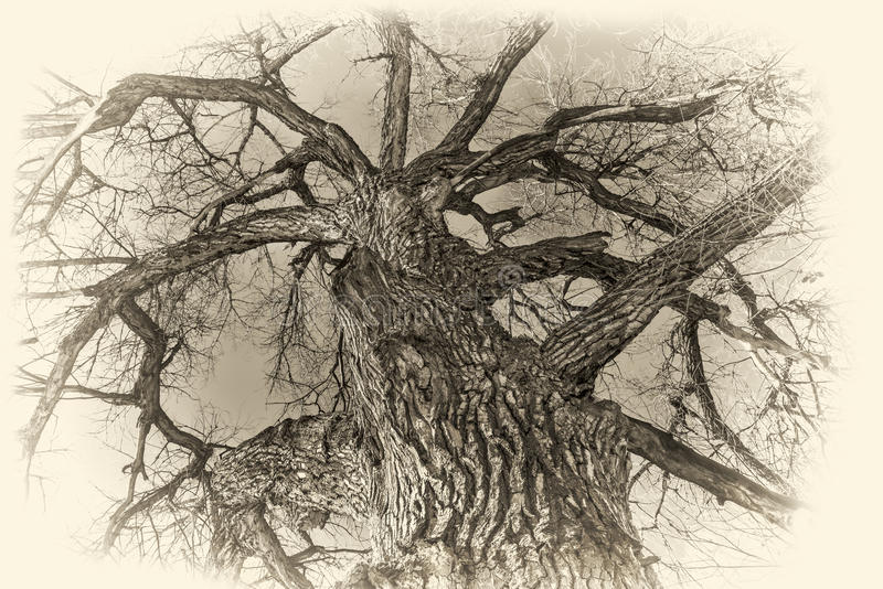 Albero gigante del pioppo nell'inverno fotografia stock