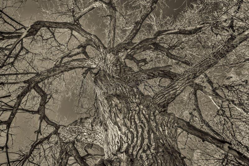 Albero gigante del pioppo nell'inverno fotografie stock libere da diritti