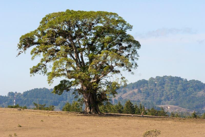 Albero gigante in mezzo al campo arido nel Guatemala, America Centrale fotografie stock
