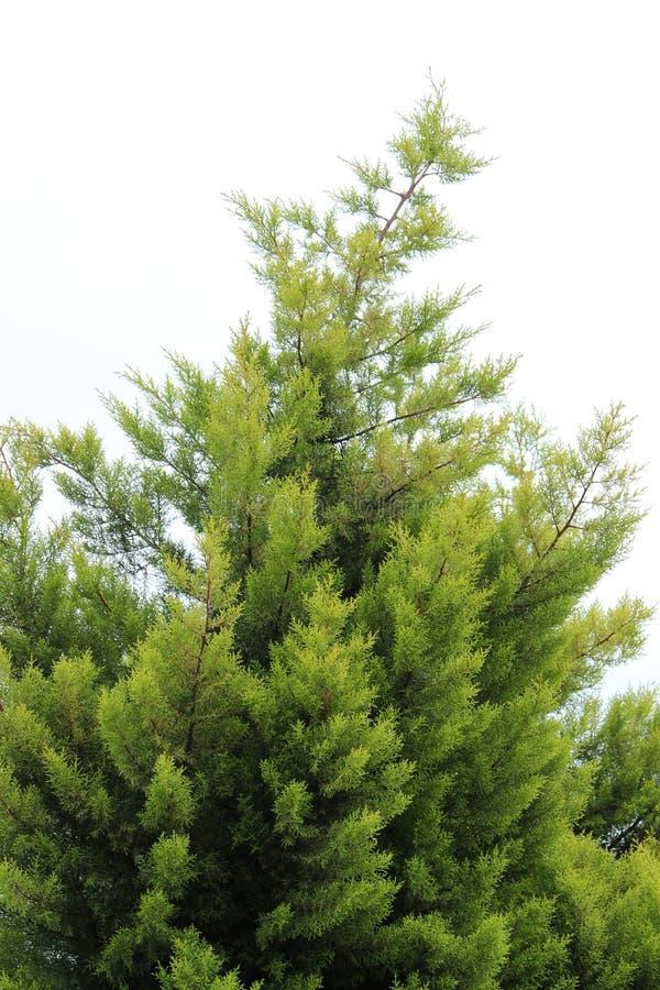 Albero gigante verde del thuja fotografie stock