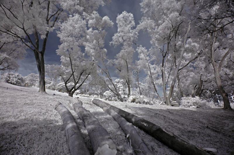 Albero infrarosso della foto, ceppo dell'albero immagine stock