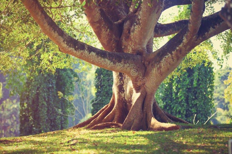 Albero invecchiato nel parco, fotografie stock libere da diritti
