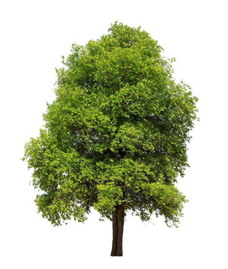Albero isolato con la foglia verde su fondo bianco fotografia stock