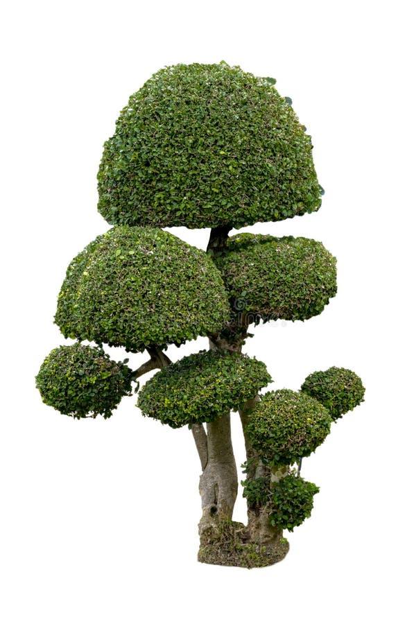 Albero isolato dei bonsai su fondo bianco con un'alta risoluzione adatta a grafico Con il percorso di ritaglio immagine stock