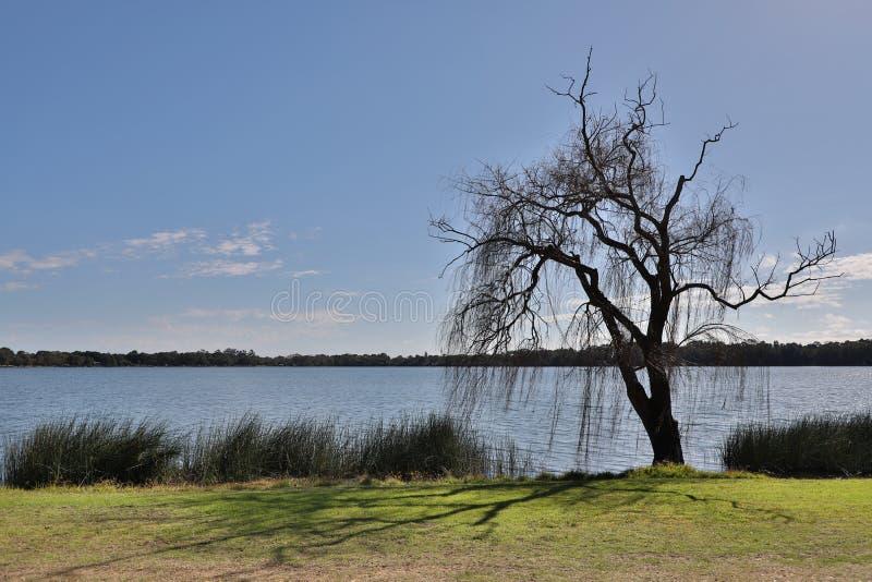Albero isolato del lago fotografia stock