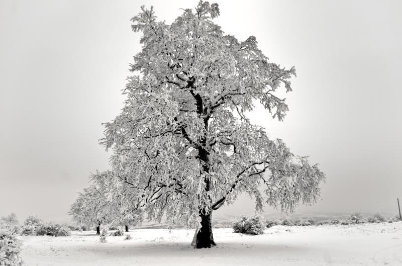 Albero isolato in inverno immagini stock