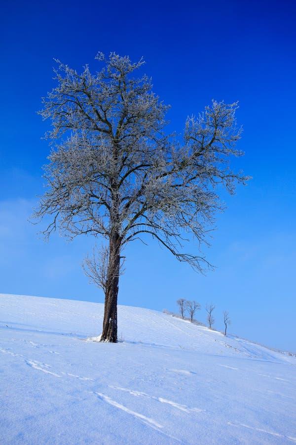 Albero isolato nel paesaggio nevoso di inverno con cielo blu Alberi isolati sul prato della neve Scena di inverno con il percorso fotografia stock libera da diritti