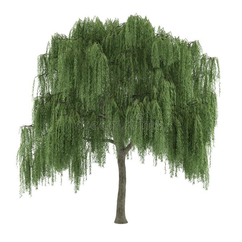 Albero isolato. Salice del Salix royalty illustrazione gratis