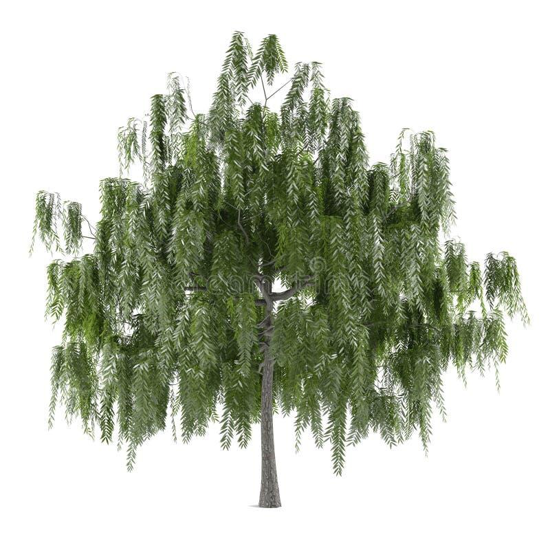Albero isolato. Salix alba fotografia stock