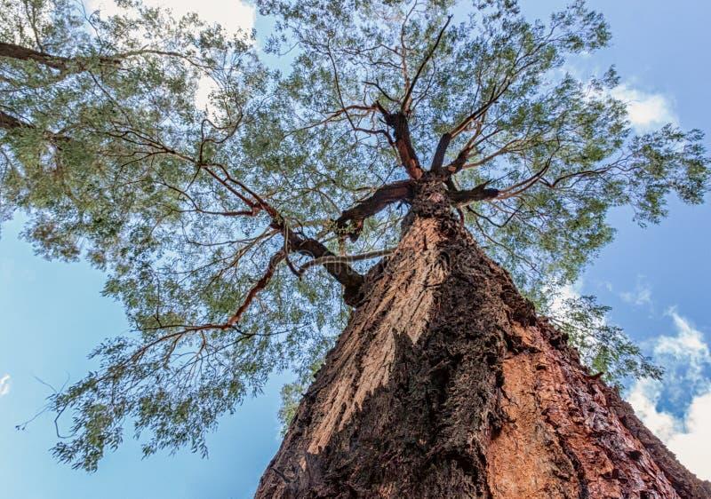 Albero maestoso con la corteccia della sbucciatura invecchiata osservata ad un angolo di 90 gradi, bello cielo blu luminoso con l fotografia stock libera da diritti