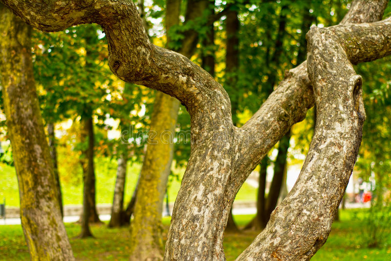 Albero magico curvo unico in parco immagini stock
