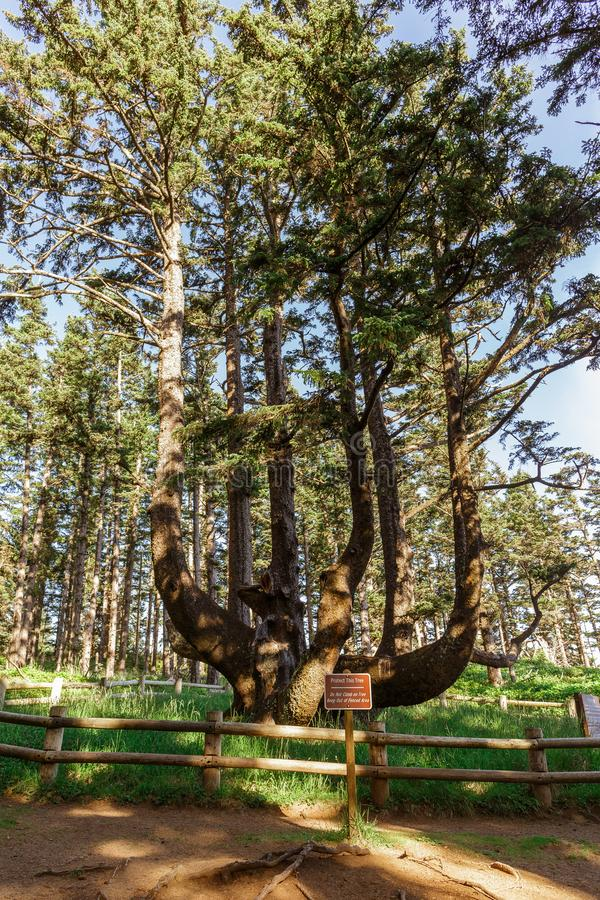 Albero massiccio del polipo, capo Meares, Oregon, U.S.A. immagini stock