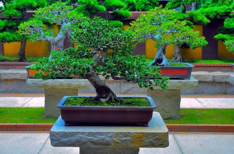Giardino Zen Bonseki : Albero miniatura dei bonsai immagine stock di